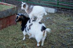 Goats on goats on goats