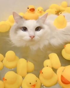 Cat + Duck = best thing ever! Happy Animals, Cute Funny Animals, Cute Baby Animals, Animals And Pets, Funny Cats, Cute Cats And Kittens, I Love Cats, Crazy Cats, Kittens Cutest