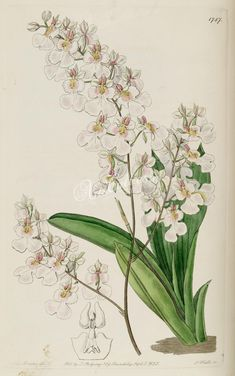 white_flowers-00861 1787-oncidium pulchellum, Pretty Oncidium  botanical floral botany natural naturalist nature flowers flower beautiful nice flora plants blooming ArtsCult.com Artscult ArtsCult vintage printable public domain 300 dpi commercial use 1800s 1700s 1900s Victorian Edwardian art clipart royalty free digital download picture collection pack paintings scan high qulity illustration old books pages supplies collage wall deco
