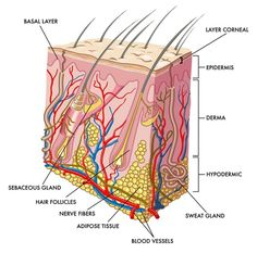 integumentary system diagram labeled submersible well pump wiring and schematic show pictures this skin clearly shows human anatomy physiology body unit