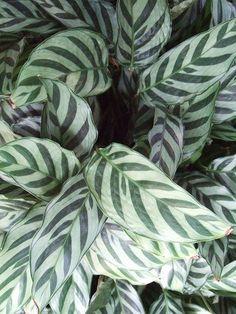 Prayer Plant (Calathea insignis) Additional Common Names ...