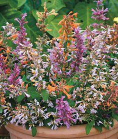 Agastache aurantiaca, Fragrant Delight Mix,