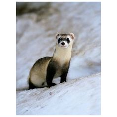 Black-Footed Ferret ❤ liked on Polyvore featuring animals