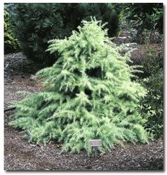 Just got one of these for the garden between the front gate and the garage.  So cute and fluffy and it looks like it's glowing in its little shaded corner.  - Deodara Snow Sprite Dwarf Cedar.