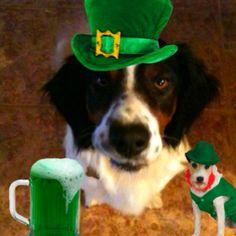 My dog Rowan says Happy St Patty's Day!