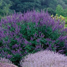 Name: Chaste tree (Vitex agnus-castus* and cvs.) Zones: 6 to 9 Size: 8 to 15 feet tall and 12 to 20 feet wide Conditions: Full sun; Plants, Drought Tolerant Landscape, Shrubs, Landscape, Garden Shrubs, Drought Tolerant Shrubs, Urban Garden, Mediterranean Garden, Specimen Trees