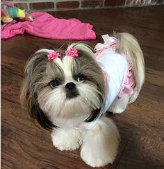 Lacy Perro Shih Tzu, Shih Tzu Puppy, Shih Tzus, Cute Puppies, Dogs And Puppies, Cute Dogs, Doggies, Beautiful Dogs, Animals Beautiful