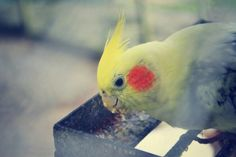 this is a cockatiel, not a parakeet