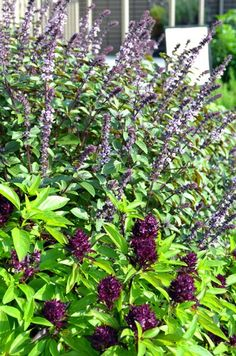 Our on-premise Chef's Garden, which is looking fantastic right now (June 6, 2012). In the foreground: Siam Basil and Magic Mountain Basil.    Affairs to Remember Caterers  www.affairs.com