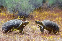 Adult male desert tortoises in the Mojave Desert in Southern California. -- Photo: Wayne Lynch, Getty Images -- TakePart -- 3-15-16