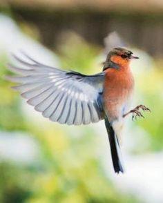 Jag vill ha en fågelvinge-tatuering. Utbredd, i flykt.
