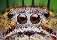 ✿ڿڰۣ(̆̃̃•Aussiegirl   http://pinterest.com/aussiegirllori/the-eyes-have-it/   Spiders Eyes!!