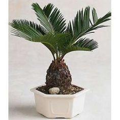 9GreenBox - Sago Palm Bonsai great gift