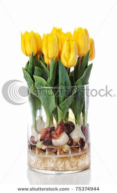 I want to try this sometime but since it takes 4 months to force tulip bulbs I think I'll just wait for my tulips to come up outside. Daffodil Bulbs, Tulip Bulbs, Daffodils, Growing Tulips, Planting Tulips, Glass Cylinder Vases, Home Garden Design, Spring Flowers, Garden Landscaping