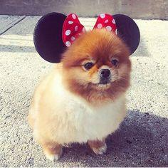 Dog Funny Dog Toys, Best Dog Toys, Funny Animals, Cute Animals, Boo And Buddy, Goofy Dog, Cute Pomeranian, Fluffy Dogs, Love Pet