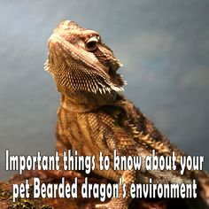 Important things to know about your pet Bearded dragon's environment
