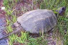 SNAPPING LAND TURTLE NEW YORK HUGE !