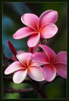 Plumeria è un nativo americano tropicale più collegato con l'Hawai come il fiore dei leis.