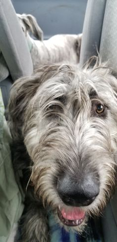 Like Flo, Irish Wolfhounds, Luck Of The Irish, Gentle Giant, Whippet, Big Dogs, Beautiful Dogs, Doge, Mans Best Friend