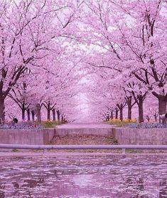 Cherry Blossoms, Chiba-Ken, Japan  - Imgur