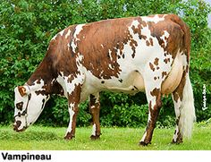 Why can I not find anyone who breeds these cows anywhere near me? And why is it only the rare farm that has them for dairy and not beef?