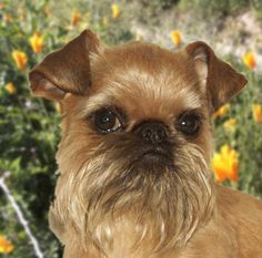 Brussels Griffon dog art portraits, photographs, information and just plain fun. Also see how artist Kline draws his dog art from only words at drawDOGS.com http://drawdogs.com/product/dog-art/brussels-griffon-dog-portrait-by-stephen-kline/