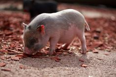 Teacup Pigs - Teacup Puppies For Sale, Teacup and Miniature Puppies for Adoption and Rescue Miniature Puppies, Miniature Pigs, Teacup Puppies For Sale, Mini Teacup Pigs, Mini Pigs, Puppy Images, Cute Puppy Pictures, Fun Facts About Animals, Animal Facts