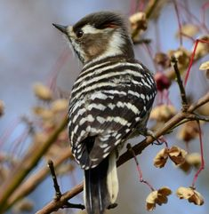 Japanese Pygmy Woodpecker - Russia, China, N. & S. Korea & Japan