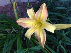 Day Lillie's my favorite flower Summer 2014