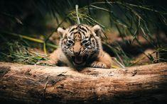 Baby Tiger Wallpaper for Cubs Wallpaper, Tier Wallpaper, Background Hd Wallpaper, Wallpaper Pictures, Animal Wallpaper, Laptop Wallpaper, Mobile Wallpaper, Animals Beautiful, Cute Animals
