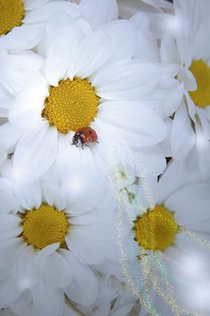 Mother's day gift. Magic ladybug at the camomile  by PhotoMood