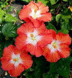 Hibiscus 'Star of India'