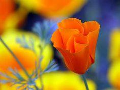 Eschscholzia. Can't pronounce it, but beautiful flower.