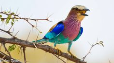 Beautiful Bird - Lilac-breasted roller, Caprivi... By Anja Denker