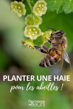 Haie pour les abeilles : les meilleurs variétés d'arbustes mellifères #jardin #jardinage #haie #abeille