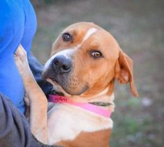 Petango.com – Meet Honey Ham, a 2 years Hound / Terrier, American Pit Bull available for adoption in DECATUR, GA