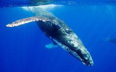 Resultat d'imatges de humpback whale