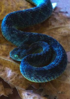 """Blue Bush Viper - Vipère des buisson - Atheris squamiger - """" The Effective Pictures We Offer You About trends sneakers A quality picture can tell you many - Pretty Snakes, Cool Snakes, Colorful Snakes, Beautiful Snakes, Nature Animals, Animals And Pets, Cute Animals, Cute Reptiles, Reptiles And Amphibians"""