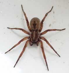 Wolf Spider - These are commonly found indoors running across the floor. They come in by accident usually males during mating season. They don't build webs. They are HARMLESS and they eat roaches which is awesome !!!