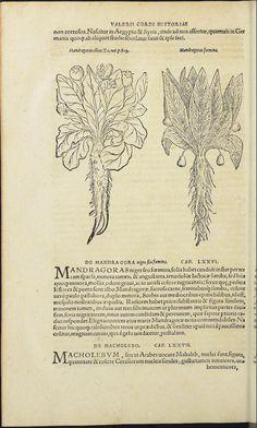Mandragora, 1561, Valerius Cordus, Annotationes in Pedacij Dioscoridis Anazarbei,  F.204b -Detail [Mandragoras foemina]