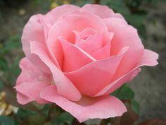 rosesQueen Elizabeth - Google Search