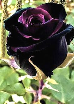 55 Ideas For Flowers Black Garden Plants Dark Flowers, Beautiful Rose Flowers, Unusual Flowers, Amazing Flowers, Gothic Garden, Garden Drawing, Black Garden, Purple Flowers, Hibiscus Flowers