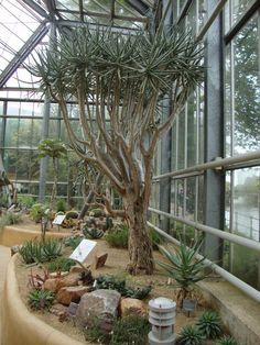 Aloe dichotoma De Hortu - Amsterdam http://unpiccologiardino.blogspot.it/2014/09/dallorto-botanico-di-amsterdam-la-serra_18.html