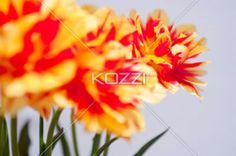 far tulip focus - Blurry tulips in front of a sharp red and yellow tulip