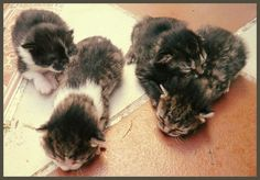 Caso externo: ADOPTADOS. Preciosos #gatitos buscan hogar en #Mairena del Aljarafe, #Sevilla. Estos gatos ya han sido adoptados por familias que los quieren.
