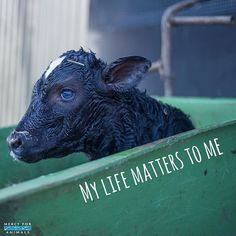 It matters to me too.  A male dairy calf thrown away in a dumpster only moments old. He is the unwanted by-product of milk and cheese.