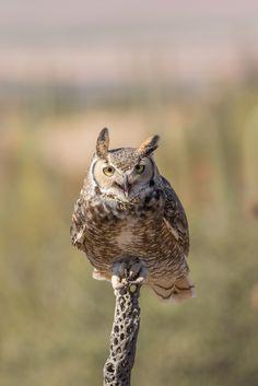 A Great Horned Owl in the Desert - http://ourbeautifulworldanduniverse.com/great-horned-owl.html