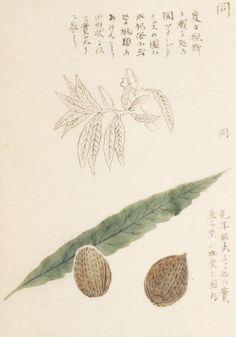 苦扁桃、苦巴旦杏(ビターアーモンド) バラ科 Bitter almond  本草図譜 第12冊 岩崎 灌園, Honzo-Zufu, KanEn Iwasaki (1830)