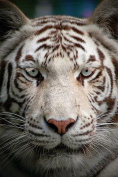 Paradise Wildlife Park: White Tiger by --CWH-- on Flickr.. I got my eyes in you. Great shot..