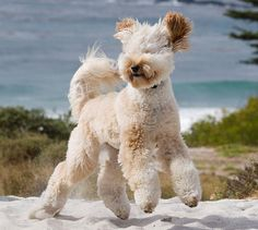 """Curly Fleece coat when clipped, still retains its soft fluffy curl but isn't as tightly curled as the Wool Coat. """"Pi"""" is an Apricot Cream labradoodle"""